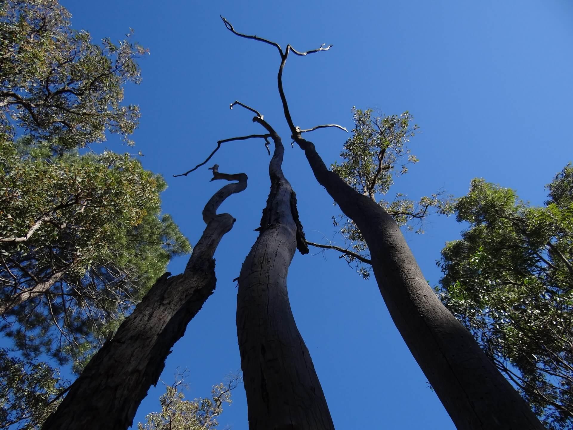 munda biddi trail trees